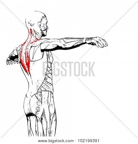 Concept or conceptual 3D back human anatomy or anatomical and muscle isolated on white background