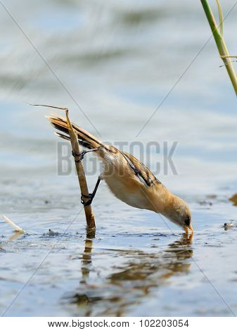 Juvenile Bearded Reedlings Drinks Water From Lake