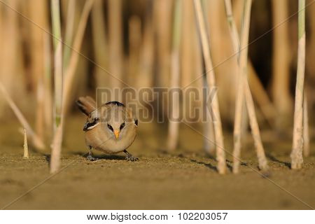 Juvenile Bearded Reedling Seeking For Feed Under The Reeds
