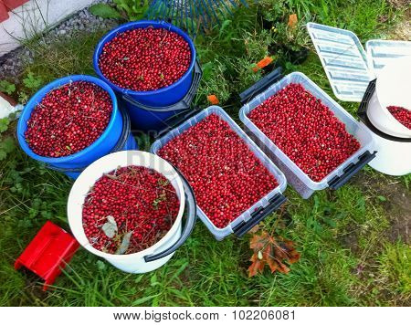 Lingonberry Harvest