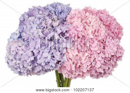 Pink And Blue Flower Hydrangea (clipping Path)
