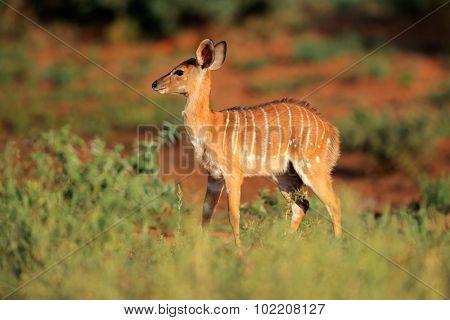 Young Nyala antelope (Tragelaphus angasii) in natural habitat, Mokala National Park, South Africa