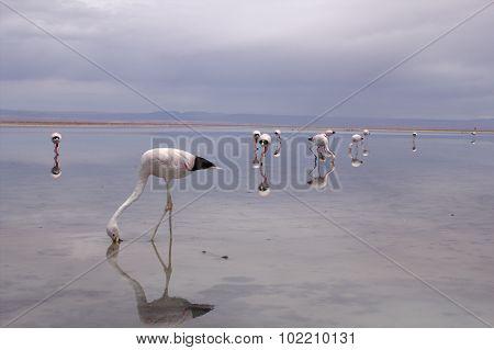 Flamingos in the Atacama desert in Chile
