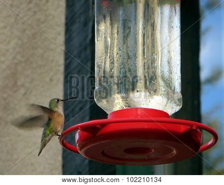 Hummingbird in the Rocky Mountains
