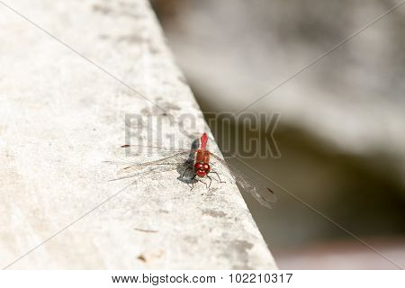 Red-veined darter dragonfly