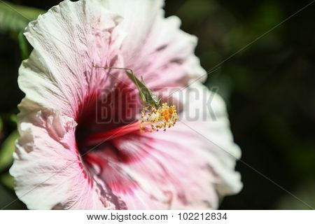 Pink hibiscus flower blooms with a grasshopper