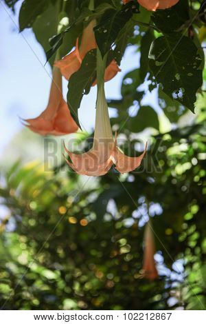 peach flower on an angel trumpet tree