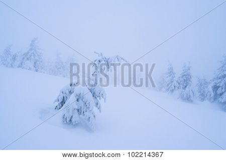 Little spruce under snow. Landscape in mountain forest. Cloudy day harsh winter. Color toning