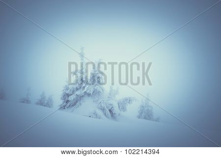 Winter landscape with spruce covered by snow. Christmas view of mystical fog. Color toning. Low contrast