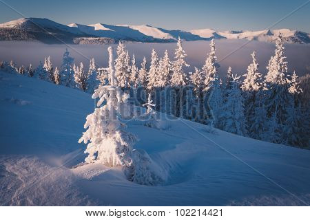 Solar frosty morning. Spruce forest in snowy mountains