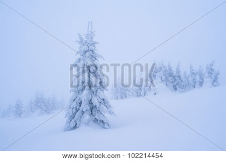 Winter landscape with snowy fir tree. Christmas view. Beauty in nature. Color toning