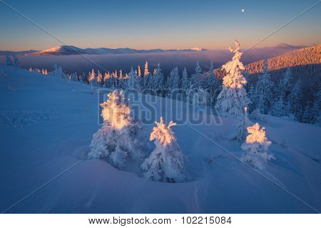 First rays of the sun in the mountains. Winter landscape with snowy fir trees. Christmas view