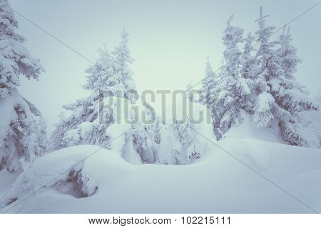 Winter landscape. Snowdrifts in the forest. Christmas trees with fabulous view. Color toning. Low contrast