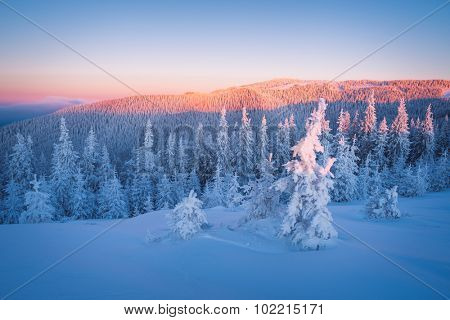 Snowy winter in mountains. Frosty morning. Fir forest under snow. Beauty in nature