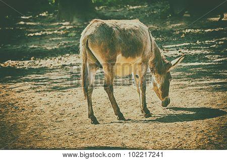 African wild ass eating grass on forest field