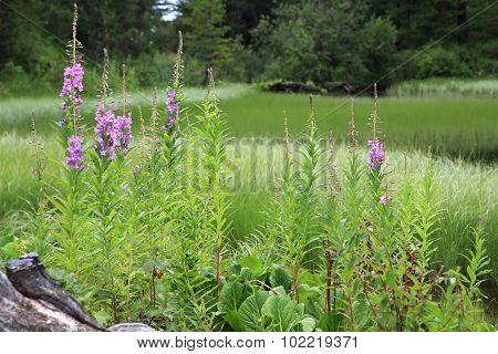 Beautiful flowers Ivantea on the background seventh Karakol lakes.