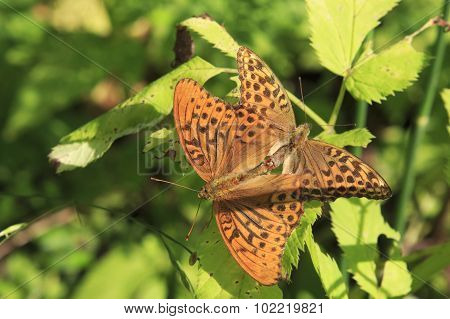 Dark Green Fritillary butterfly Argynnis aglaja