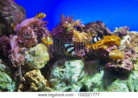 Fishes and corals reef in Aquarium - nature background