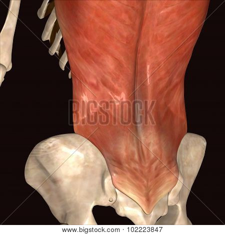 human body muscls