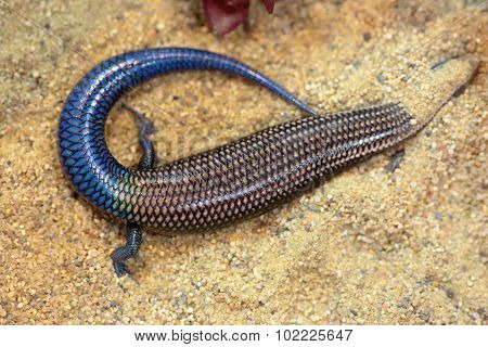 A Blue Skink Hiding In The Sand