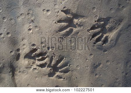 Rodent Animal Paw Prints