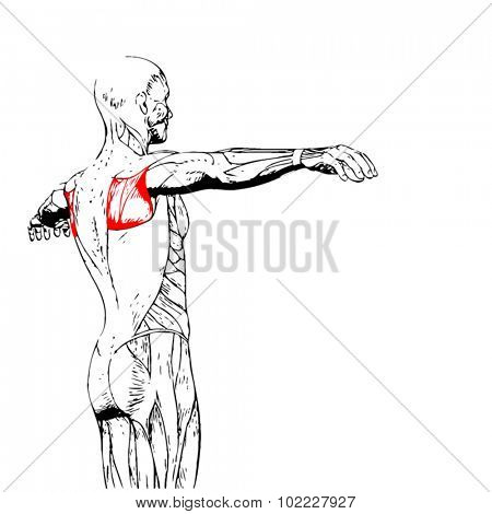 Vector concept or conceptual 3D back human anatomy or anatomical and muscle isolated on white background