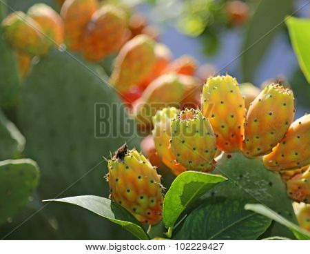 Indian Fig Opuntia Or Prickly Pear  In The Cactus