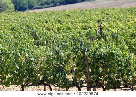 Vineyard With Grapes In The Italian Countryside In Summer