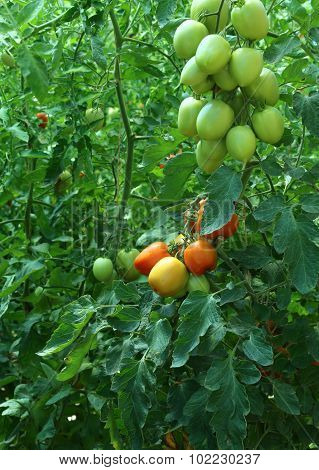 Ripe Tomatoes Grown In A Greenhouse At A Controlled Temperature