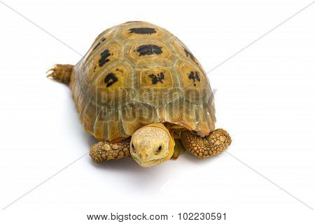Elogated Tortoise