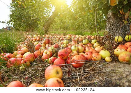 Many of the apples are lying under the tree already.