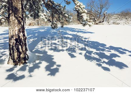 Snowy Conifer Tree With Shadow