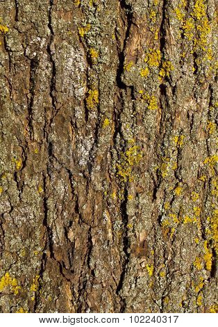 Old Maple Tree Bark Texture With Moss.