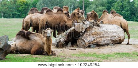 Herds of camels on zoo.