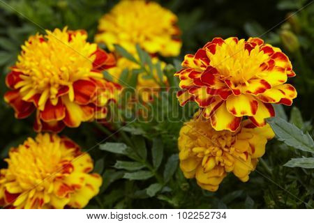 Beautiful marigold flowers in thé garden. Summer colors.