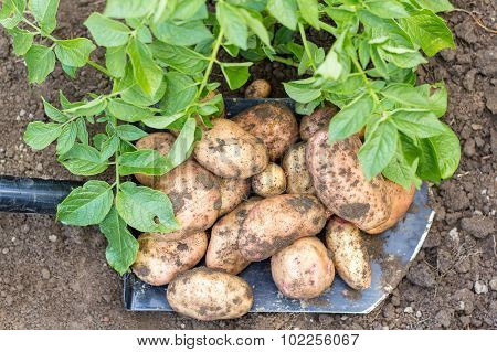 potato field vegetable with tubers on the shovel in soil surface background