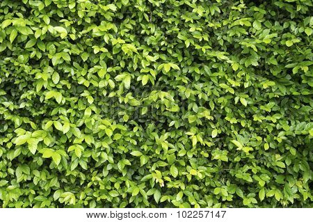 Green Leaf wall for nature texture background