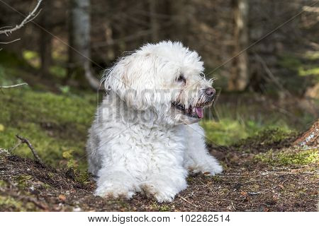 Small White Dog Panting As It Takes A Rest On A Forest Walk