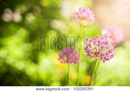 Beautiful violet flowers of allium aflatunense field