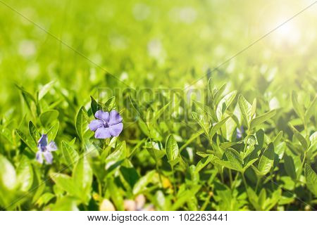 beautiful small blue flowers in the background