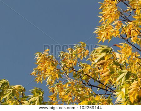 autumnal golden foliage of ash Penn on background of blue sky