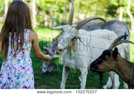Little Girl Feeding Farm Animals