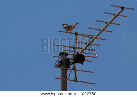 Sparrow On Antenna