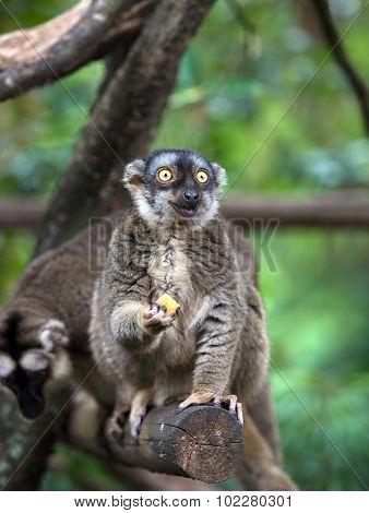 Lemur With Food