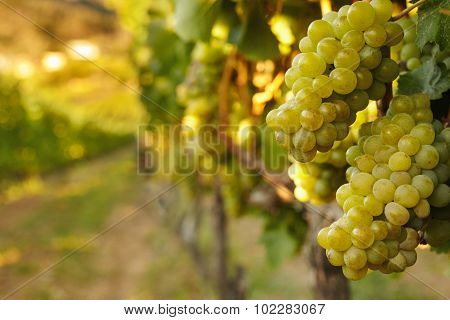 Hanging Bunches Of Green Wine Grapes