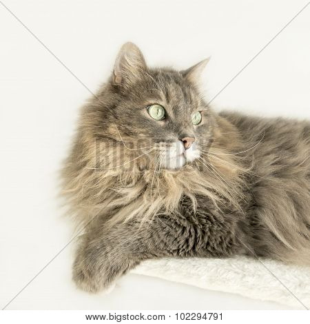 Domestic Siberian cat lying on a cat tree