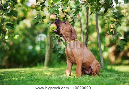 adorable puppy biting an apple from the tree