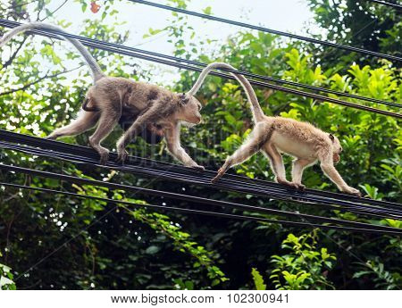 Monkeys at the electrical wires of Koh Chang island, Thailand