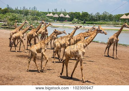 giraffes photographed in Safari World in Bangkok