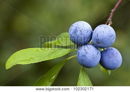 Sloe Fruit at Blackthorn Tree